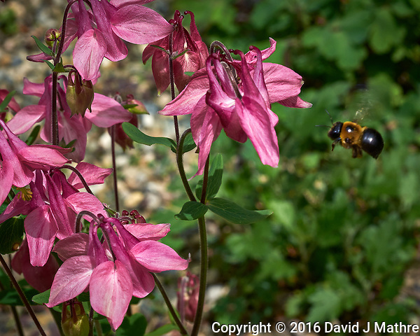 Pink columbine and bumble bee. Backyard spring nature in New Jersey. Image taken with a Fuji X-T1 camera and 60 mm f/2.4 macro lens (ISO 200, 60 mm, f/11, 1/320 sec). (David J Mathre)