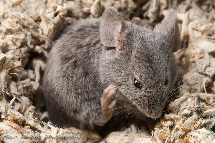 A gray male mouse curls up in a depression in the bedding and scratches his jaw/chin.  It's incredible how fast their hind paws move when they're scratching. (Marc C. Perkins)