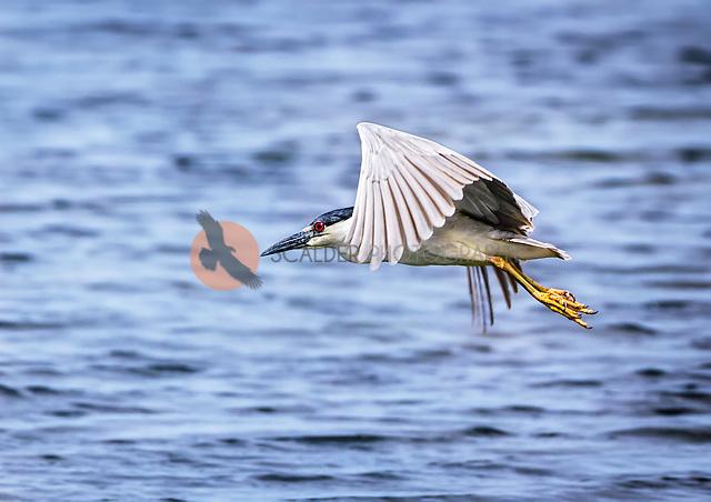Black Crowned Night Heron in flight with wings partially up in downstroke (Sandra Calderbank, sandra calderbank)