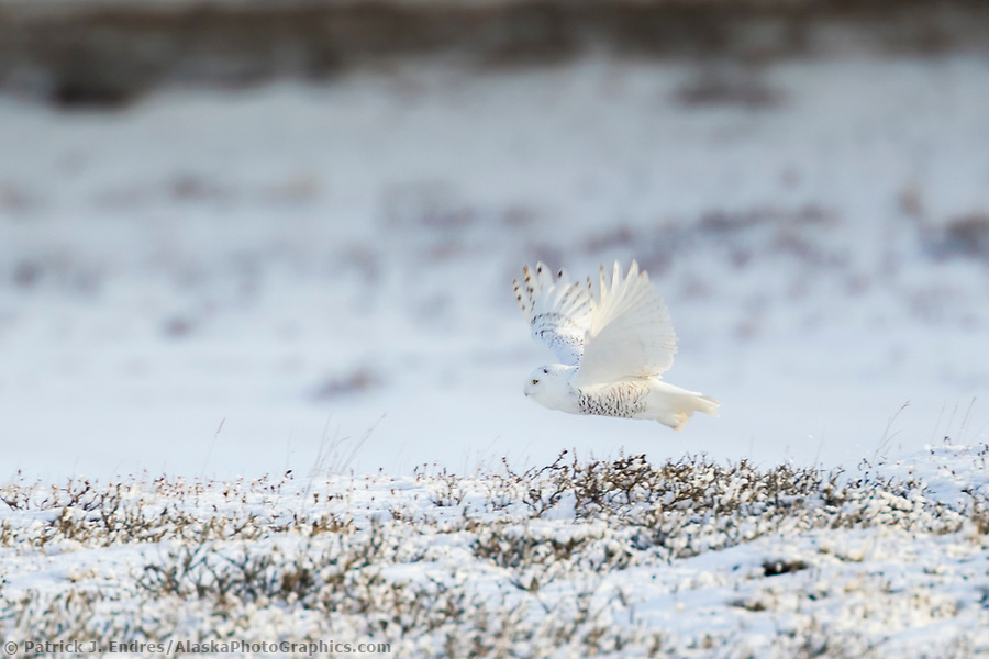 Snowy owl takes flight over the snow covered tundra of Alaska's Arctic North Slope. (Patrick J. Endres / AlaskaPhotoGraphics.com)