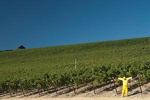 Scarecrow, Stillwater Creek Vineyard, Royal City, Washington, US (Roddy Scheer)