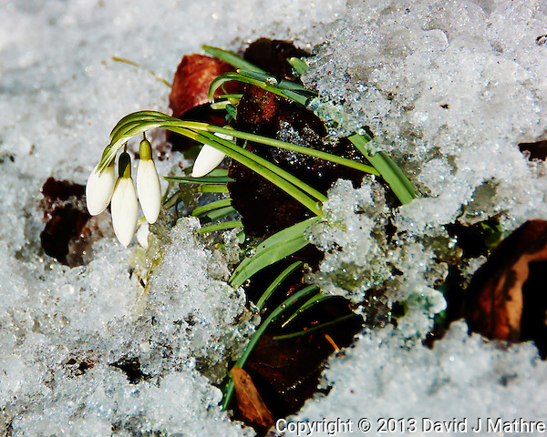 Snow Drop Flowers in the Snow Waiting for Spring. Image taken with a Nikon 1 V2 camera, FT1 adapter, and 28-300 VR lens (ISO 160, 170 mm, f/5.6, 1/500 sec) (David J Mathre)