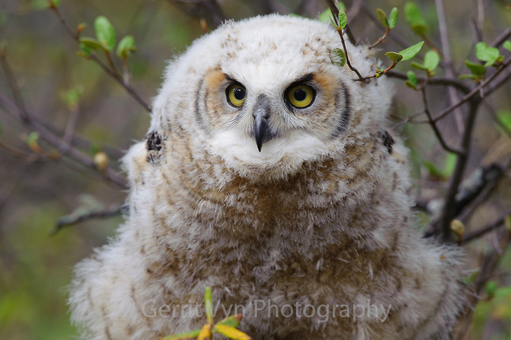 Fledgling Great Horned Owl (Bubo virginianus). Alberta, Canada. May. (Gerrit Vyn)