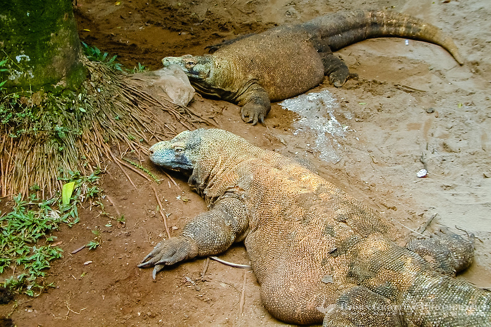 Indonesia, Java, Jakarta. Komodo dragon in Ragunan Zoo. (Photo Bjorn Grotting)