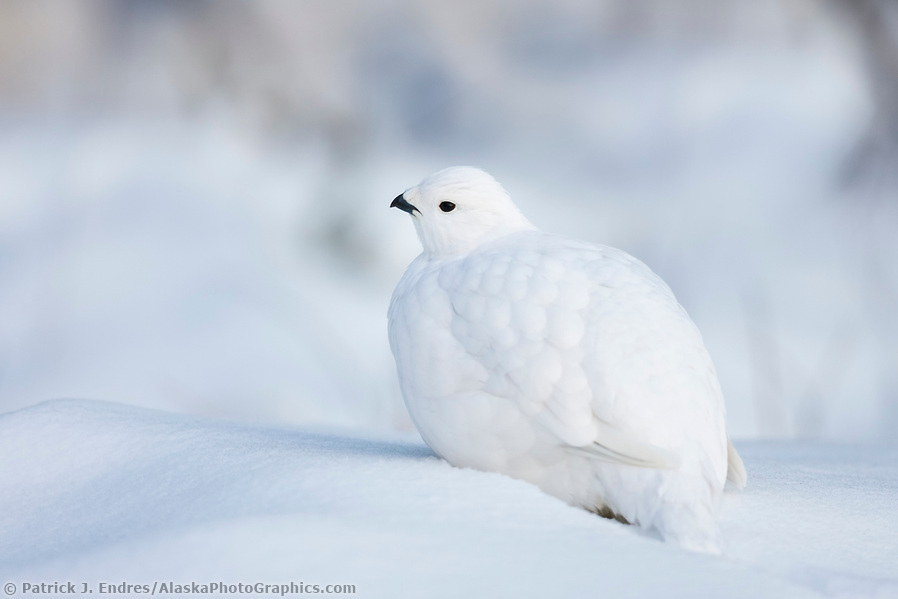Willow ptarmigan rests in the fresh snow, Fairbanks, Alaska. (Patrick J. Endres / AlaskaPhotoGraphics.com)