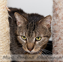 Trista, a three year old female short-haired brown tabby cat with green eyes (and a white chin), playing with a feather toy from behind a sisal-wrapped cat tree post.   Trista has a face that looks somewhat like a mountain lion to me; a bit more elongated than your typical domesticated cat.  Trista is up for adoption at Miss Kitty's Rescue in Costa Mesa, CA.  This picture was taken pro bono for Miss Kitty's Rescue to help them advertise the cats for adoption. (Marc C. Perkins)