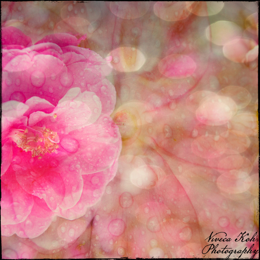 Camelia with water drops, bokeh and other layers applied (Viveca Koh)