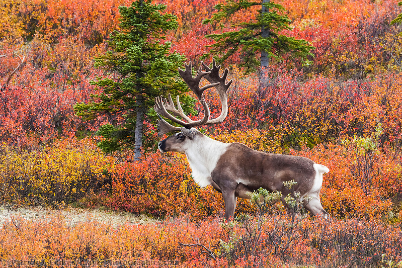 Denali National Park photos: Bull caribou walks across the autumn colored tundra in Denali National park. (Patrick J. Endres / AlaskaPhotoGraphics.com)