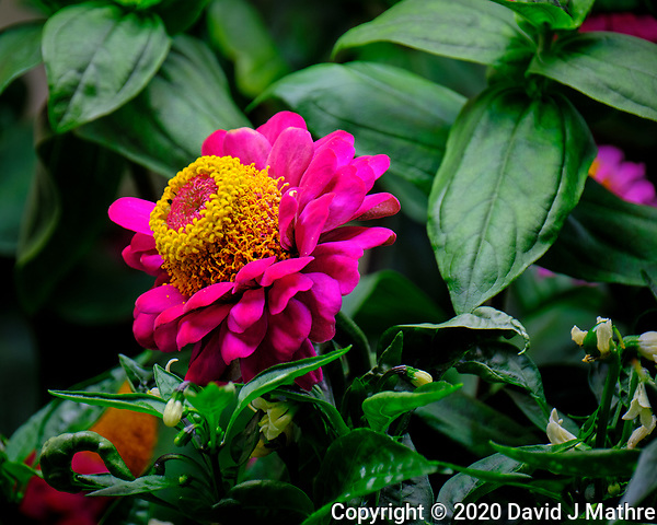 Indoor Hydroponic Zinnia Flower. Image taken with a Fuji X-T2 camera and 100-400 mm OIS lens (ISO 200, 400 mm, f/6.4, 1/70 sec). (David J Mathre)
