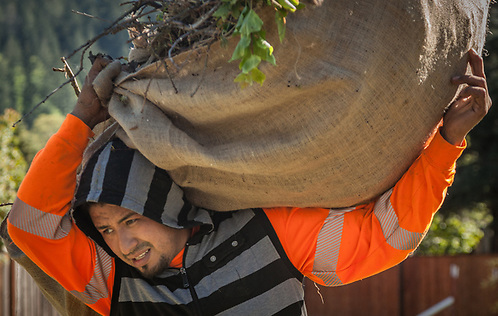 Erick Gomez bags branches for Branun Tree Service in Calistoga (Clark James Mishler)