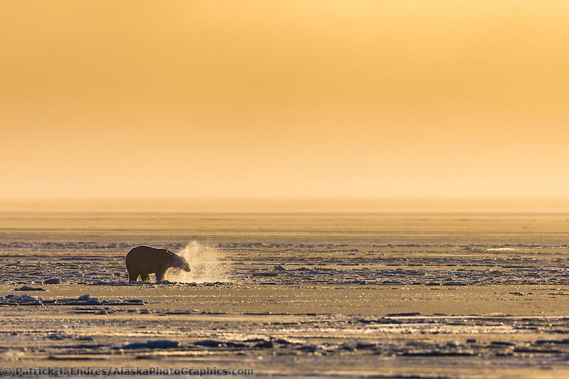 Polar bear on the newly formed sea ice on the Beaufort Sea along Alaska's Arctic Coast. (Patrick J Endres / AlaskaPhotoGraphics.com)