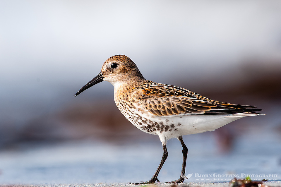 The Dunlin is one of the most common and best-known waders. At Revtangen on Jaeren, south west Norway. (Photo Bjorn Grotting)