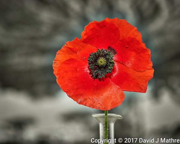 First Red Poppy flower this year. Backyard spring nature in New Jersey. Composite of 40 focus stacked images taken with a Nikon Df computer and 105 mm f/2.8 VR macro lens (ISO 100, 105 mm, f/4, 1/200 sec) and SB-910 flash (TTL, EV 0). Kirk linear track 1 mm intervals over 4 cm. Composite created using Helicon Focus (Method B, R=8, S=4) (David J Mathre)