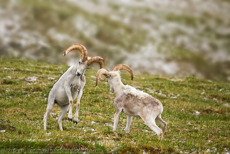 DIGITALLY MODIFED: Background has been blurred. Two Dall sheep rams crash horns as part of a dominance display on a mountain ridge in Denali National Park, interior, Alaska (Patrick J. Endres / AlaskaPhotoGraphics.com)