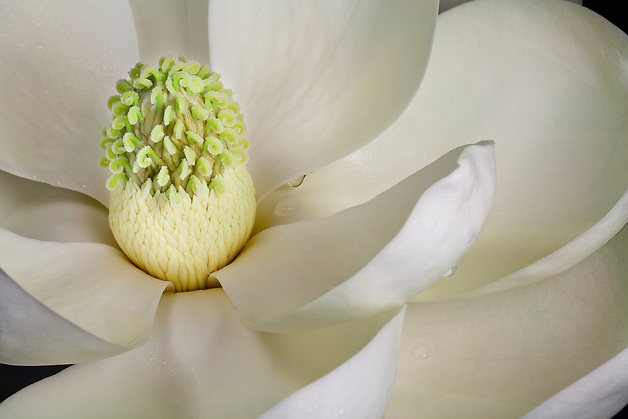 Young Magnolia flower image with close up of the stamen and carpels with water drops on the petals. (Janice Sullivan)