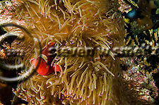 Spine-cheek Anemonefish, Premnas biaculeatus, Bali Indonesia (Steven W SMeltzer)