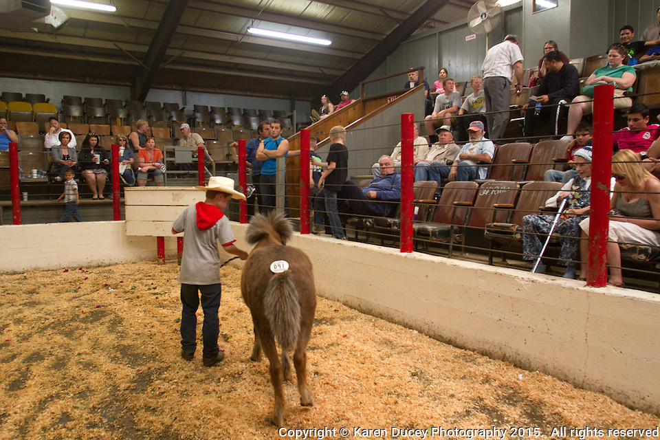 Runaway Ray is paraded in front of potential buyers at the Enumclaw Sale Pavilion in Enumclaw, Wash. on May 9, 2015. (photo © Karen Ducey Photography) (Karen Ducey/Karen Ducey Photography)