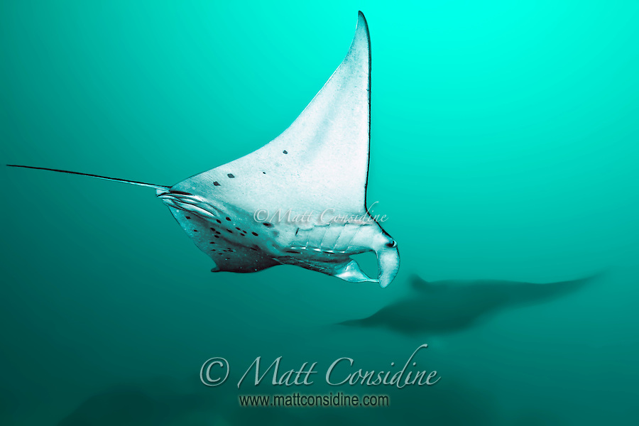 Manta Rays swoop past feeding on plankton in the water. (Photo by Matt Considine - Images of Asia Collection) (Matt Considine)