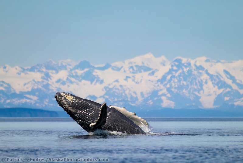 Humpback whale breaches, Chugach mountains, Montague straits, Prince William Sound, Alaska (Patrick J. Endres / AlaskaPhotoGraphics.com)