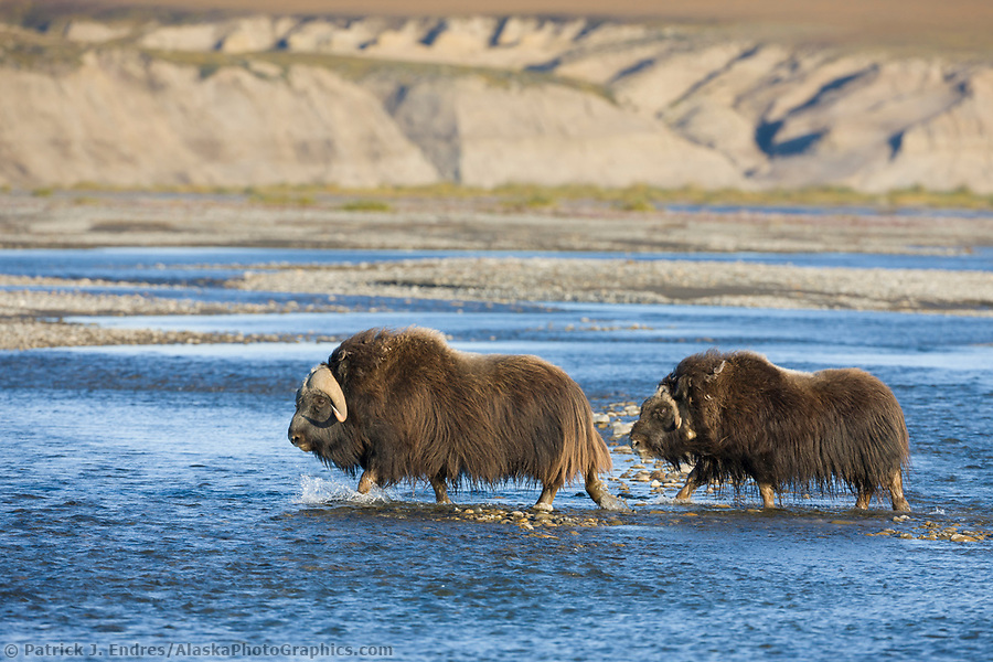 Muskox along the Sagavanirktok river and the Franklin Bluffs on the arctic coastal plains, arctic, Alaska. (Patrick J. Endres / AlaskaPhotoGraphics.com)