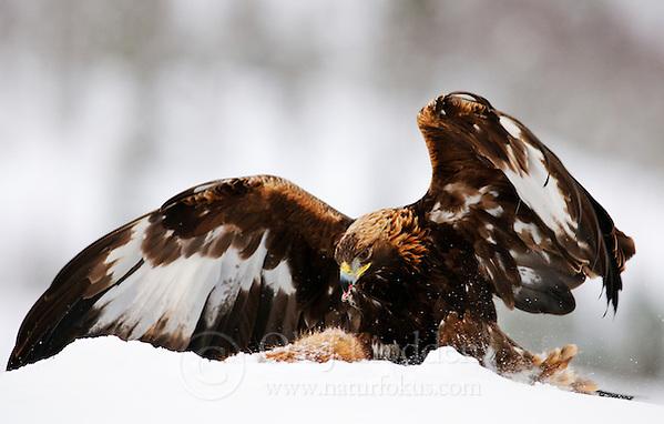 Golden Eagle (Aquila chrysaetos) in Flatanger, Norway (Ole Jørgen Liodden)