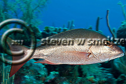 Mutton Snapper, Lutjanus analis, (Cuvier, 1828), Grand Cayman (StevenWSmeltzer.com)