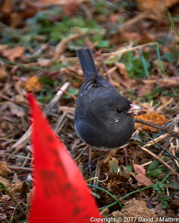 Dark-eyed Slate-colored Junco. Late Autumn Backyard Nature in New Jersey. Image taken with a Fuji X-T2 camera and 100-400 mm OIS lens (ISO 200, 400 mm, f/5.6, 1/100 sec) (David J Mathre)
