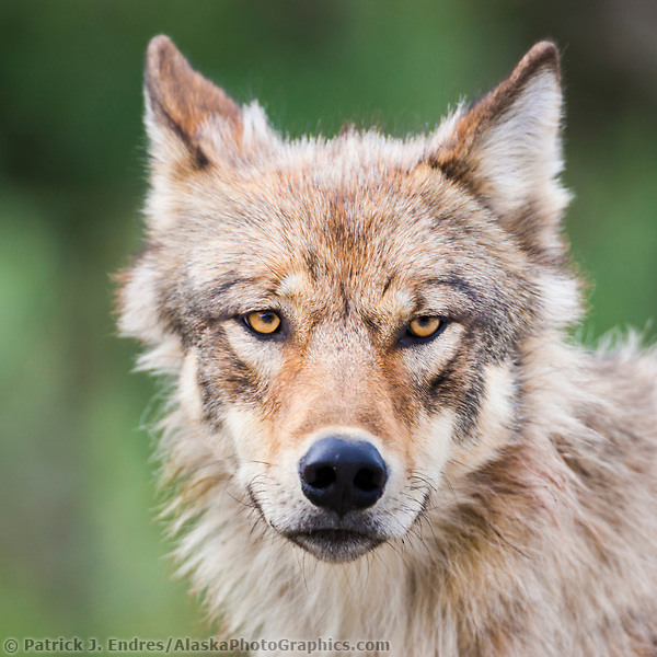Wolf from the Grant Creek pack, Denali National Park, Interior, Alaska. (Patrick J. Endres / AlaskaPhotoGraphics.com)