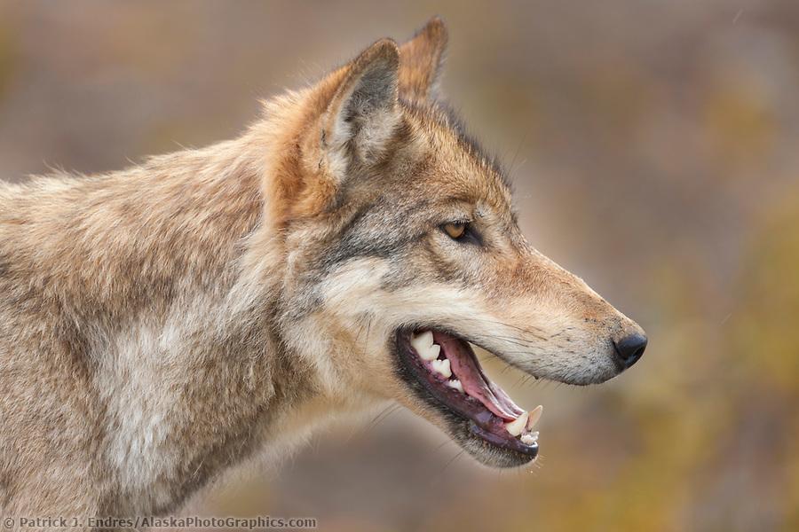 Gray wolf portrait, Denali National Park, Interior, Alaska. (Patrick J. Endres / AlaskaPhotoGraphics.com)