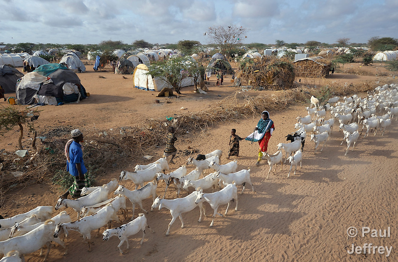 Refugees herd goats through the Dadaab camp in northeastern Kenya. Already the world's world's largest refugee settlement, Dadaab has swelled with tens of thousands of recent arrivals fleeing drought in Somalia.