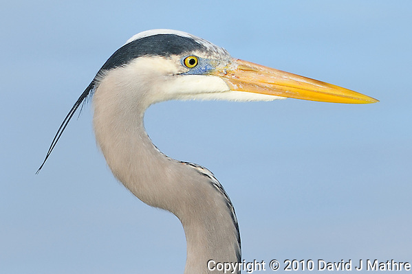 Great Blue Heron at Fort DeSoto Park in St. Petersburg, Florida. Image taken with a Nikon D3x and 300 mm f/2.8 VR lens (ISO 100, 300 mm, f/2.8, 1/1000 sec). (David J Mathre)