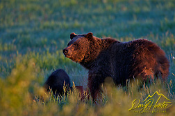 "Grizzly Sow Morning sun, Grand Teton National Park. This is grizzly 610. (Daryl Hunter's ""The Hole Picture"" � Daryl L. Hunter has been photographing the Yellowstone Region since 1987, when he packed up his view camera, Pentex 6X7, and his 35mm�s and headed to Jackson Hole Wyoming. Besides selling photography Daryl also publ)"