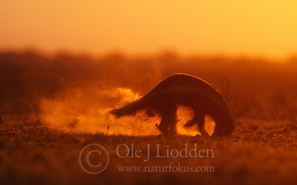 Digging Honey Badger (Mellivora capensis) in Kalahari, Botswana (Ole Jørgen Liodden)