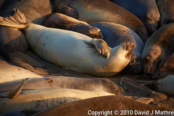 Elephant Seals at Piedras Blancas Beach, Central California Coast. Image taken with a Nikon D3x and 70-300 mm VR lens (ISO 250, 300 mm, f/8, 1/250 sec). (David J Mathre)