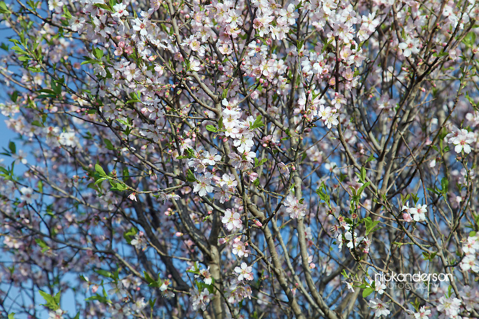 Hundreds of small flowers and new shoots on an almond tree mark the arrival of spring in Cyprus (Nick Anderson)