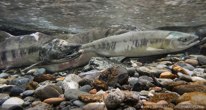 A female chum salmon (Oncorhynchus keta), right, and a male chum salmon (left) make their way up the special spawning channel of Herman Creek during the fall chum salmon run. The male has likely already spawned due to his battle-scarred and deteriorating body. These chum salmon are returning to freshwater Herman Creek near Haines, Alaska after three to five years in the saltwater ocean. Spawning only once, chum salmon begin to deteriorate and die approximately two weeks after they spawn. Both sexes of adult chum salmon change colors and appearance upon returning to freshwater. Unlike male sockeye salmon which turn bright red for spawning, male chum salmon change color to an olive green with purple and green vertical stripes. These vertical stripes are not as noticeable in females, who also have a dark horizontal band. Both male and female chum salmon develop hooked snout (type) and large canine teeth. These features in female salmon are less pronounced. Herman Creek is a tributary of the Klehini River and is only 10 miles downstream of the area currently being explored as a potential site of a copper and zinc mine. The exploration is being conducted by Constantine Metal Resources Ltd. of Vancouver, B.C. along with investment partner Dowa Metals & Mining Co., Ltd. of Japan. Some local residents and environmental groups are concerned that a mine might threaten the area's salmon. Of particular concern is copper and other heavy metals, found in mine waste, leaching into the Klehini River and the Chilkat River further downstream. Copper and heavy metals are toxic to salmon and bald eagles. Chilkat River and Klehini River chum salmon are the primary food source for one of the largest gatherings of bald eagles in the world. Each fall, bald eagles congregate in the Alaska Chilkat Bald Eagle Preserve, located only three miles downriver from the area of current exploration. (© John L. Dengler/Dengler Images)