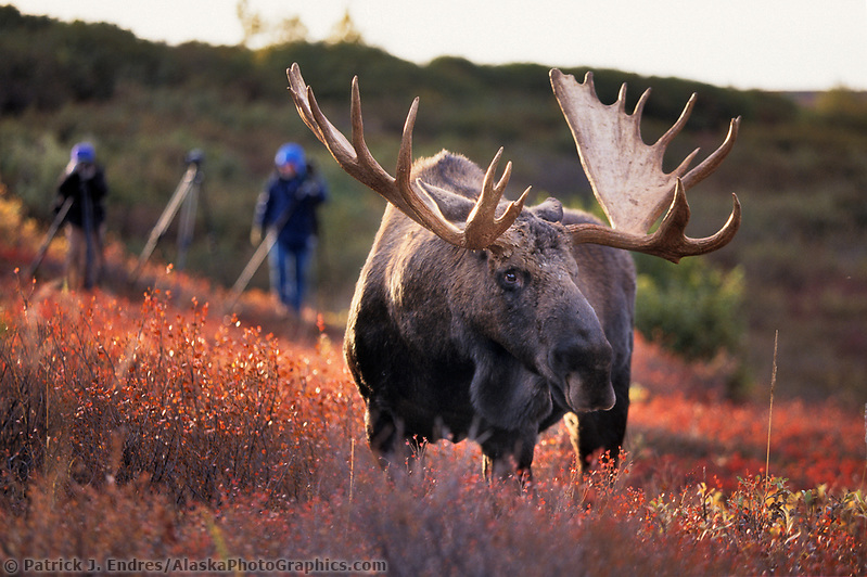 Photographers and large bull moose, autumn tundra, Denali National Park, Alaska (Patrick J. Endres / AlaskaPhotoGraphics.com)