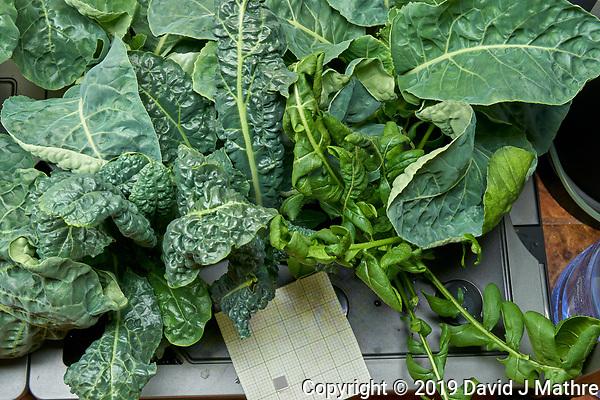AeroGarden Farm 03 Right Tray at 28 days. R01-R03 Cauliflower; R07-R09 Kale; R10-R12 Cilantro; Image taken with a Leica TL-2 camera and 35 mm f/1.4 lens (ISO 320, 35 mm, f/11, 1/10 sec). (DAVID J MATHRE)