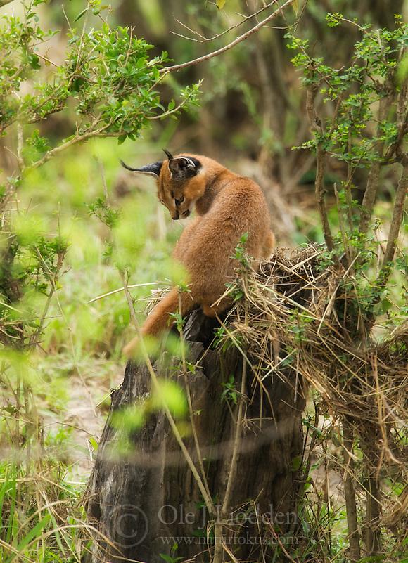 Caracal (Caracal caracal) cub in Masai Mara, Kenya (Ole Jørgen Liodden)