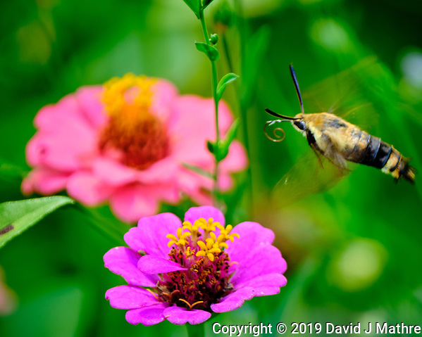 Snowberry Clearwing Moth in Flight above a Zinnia Flower. Image taken with a Fuji X-T2 camera and 100-400 mm OIS lens (David J Mathre)