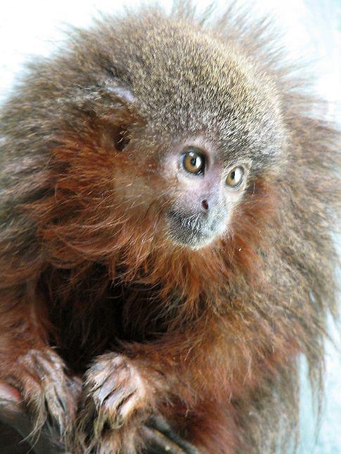 WASHINGTON, 23/10/2013.- Fotografía facilitada por el Fondo Mundial para la Naturaleza (WWF) de un mono tití de Caquetá (Callicebus caquetensis), una de las 441 especies de animales y plantas que han sido descubiertas en el Amazonas en los últimos cuatro años. La selva amazónica, situada en la parte septentrional y central de América del Sur, es el bosque tropical más extenso del mundo, y es considerada una de las regiones con mayor biodiversidad. EFE/Javier García