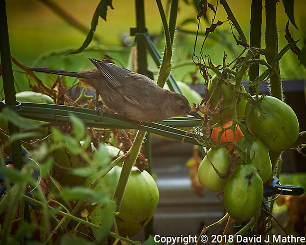 Grey Catbird pecking at my tomatoes. Image taken with a Nikon Df camera and 70-300 mm VR telephoto zoom lens (ISO 450, 300 mm, f/5.6, 1/320 sec). (DAVID J MATHRE)