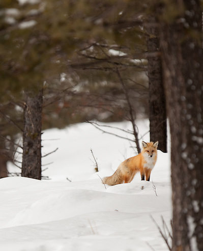 This individual red fox is seen in its natural forest environment during the winter months in Yellowstone National Park. (Benjamin Chase / Ben Chase Photography)