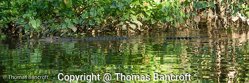 A 4-meter estuarine crocodile glides out of the mangroves as we pass in a small boat. (G. Thomas Bancroft)