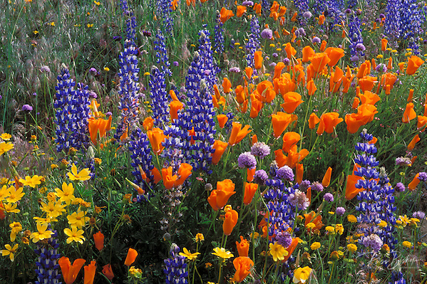 Lupines, coreopsis (Coreopsis californica), and California poppies (Eschscholzia californica) in the Tehachapi Mountains, Angeles National Forest, California (Russ Bishop/Russ Bishop Photography)