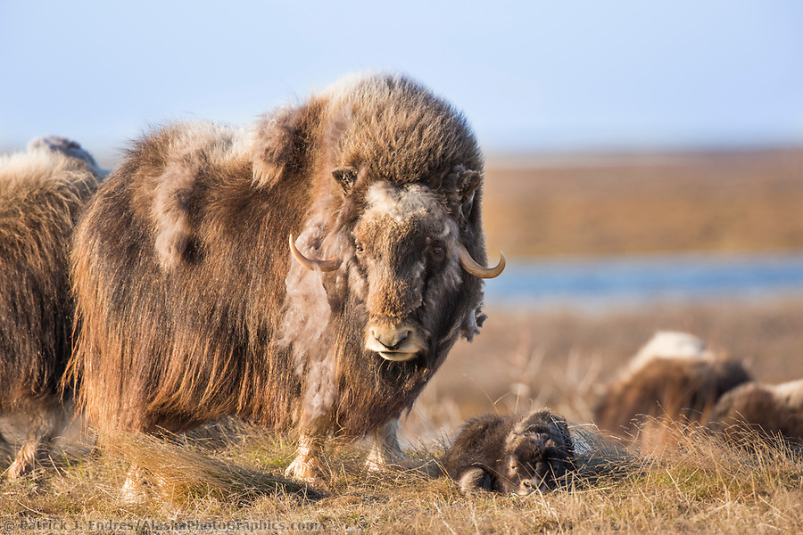 A young muskox calf and adult on the tundra of Alaska's arctic north slope. (Patrick J. Endres / AlaskaPhotoGraphics.com)