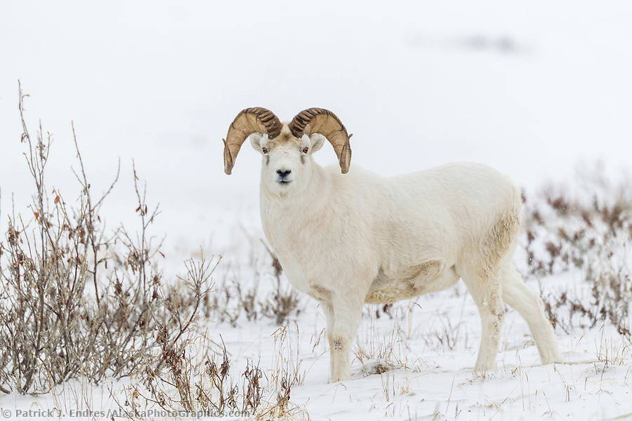 alaska wildlife photos: An adult, full curl dall sheep ram on the snow covered tundra of the Brooks Range mountains in Alaska's Arctic. (Patrick J. Endres / AlaskaPhotoGraphics.com)