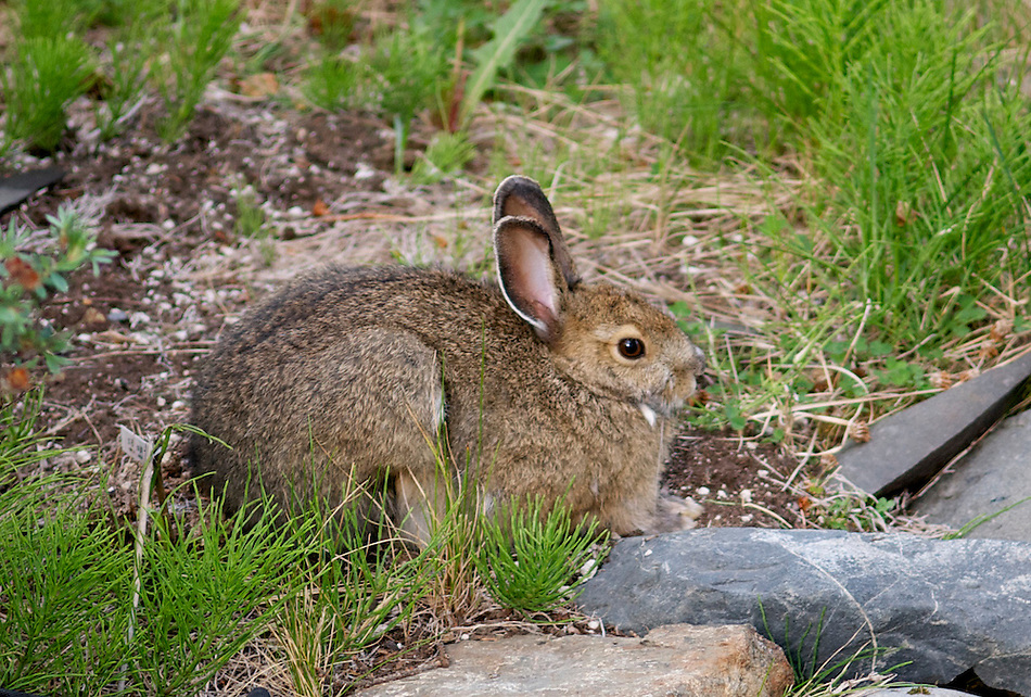 December 23, 2010, Snowshoe Hare (Lepus americanus) also known as the Varying Hare in brown summer morph, Anchorage, Alaska, United States. (Ron Karpilo)