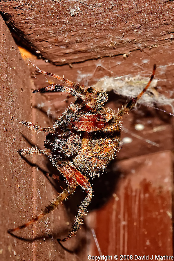 Big Spider Above My Front Door. Image taken with a Nikon D3 and 200 mm f/4 macro lens (ISO 220, 200 mm, f/16, 1/60 sec) and SB-900 flash. (David J. Mathre)