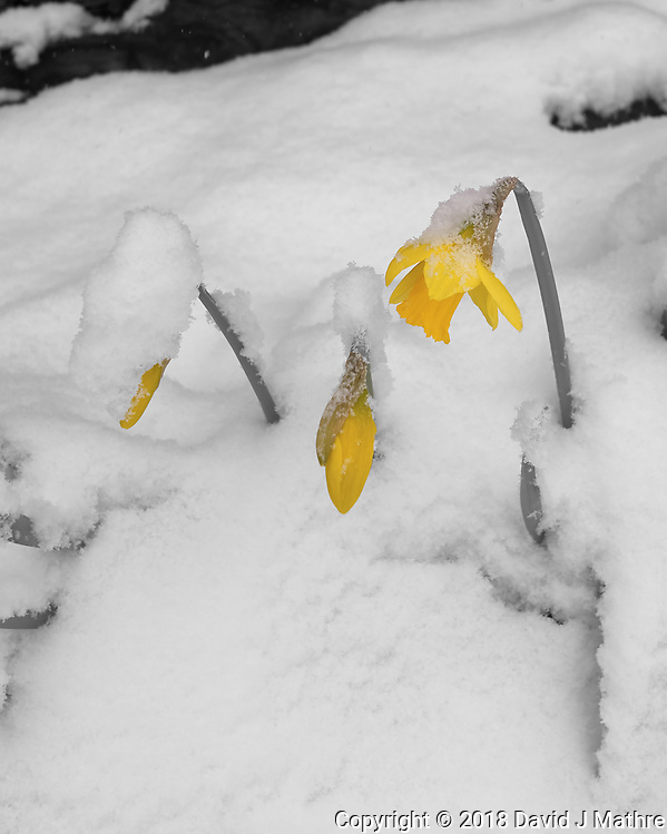 Resilient Daffodils on the second day of spring. Image taken with a Leica CL camera and 18 mm f/2.8 lens (ISO 100, 18 mm, f/4, 1/400 sec). Raw image processed with Capture One Pro (monochrom + one color). (David J Mathre)